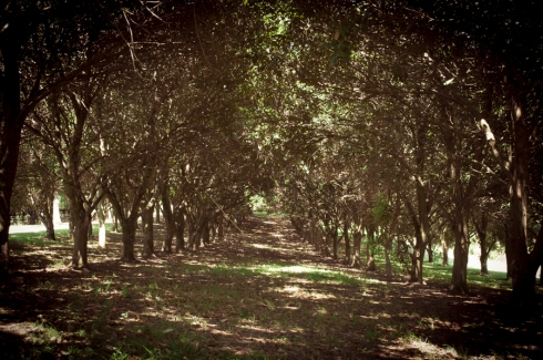 macadamia trees, Summer Hills Retreat