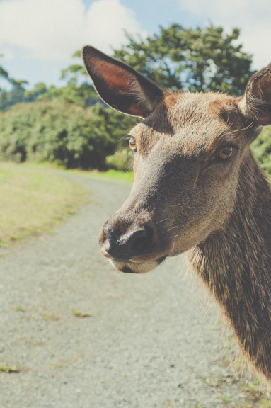 deer at Zion